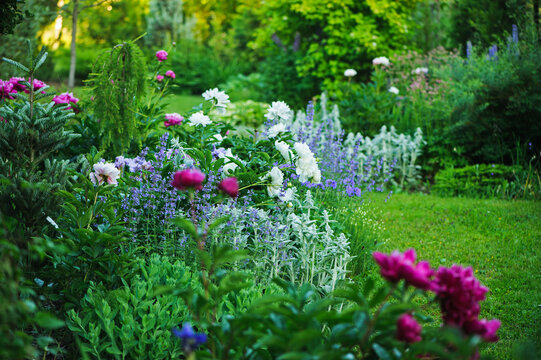 beautiful english style cottage garden view in summer with blooming peonies and companions - stachys, catnip, heranium, iris sibirica. Composition in white and blue tones. Landscape design.