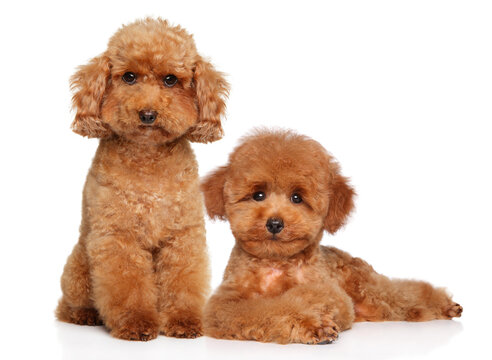 Red dwarf and toy poodle puppy