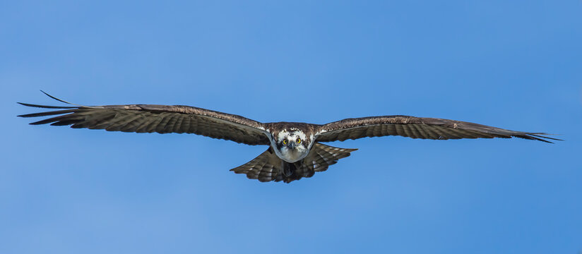 Osprey Face First - an osprey flies from a nest and glides head and face first directly overhead. Silverthorne, Colorado.