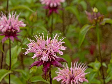Pink wild bergamot flowers, close up - Monarda fistulosa