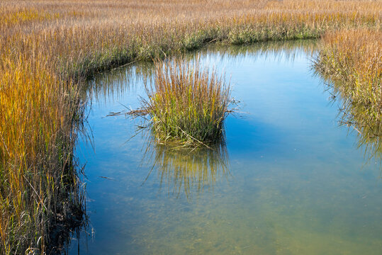 Smooth cordgrass in a tidal salt marsh in the low country of South Carolina.