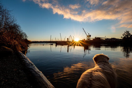 Golden Retriever dog watching sunset at a creek with industrial lands