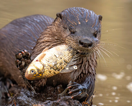 River otter catching and eating fish in the pond