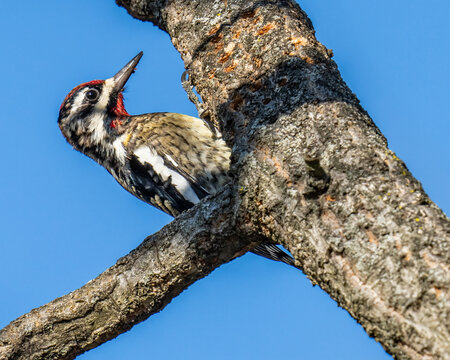Yellow Bellied Sapsucker on a tree