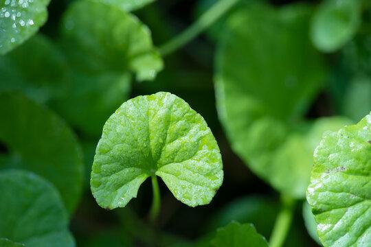 close up Gotu kola (Centella asiatica) leaves