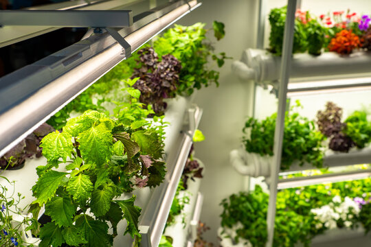 Plants in greenhouse. Growing plants in greenhouse of restaurant. Shelves in greenhouse are lit by lamps. Lots of plants on hothouse racks. Concept - growing watercress. Orangery in a small room
