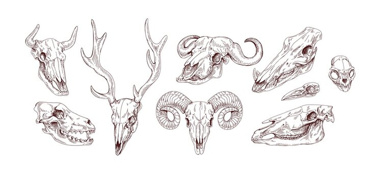 Set of animal and bird skulls in vintage style. Front and side views of engraving scary skeletons of cow, buffalo, deer, goat, ox, sheep and wolf. Vector illustration isolated on white background