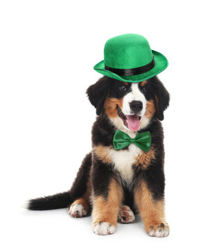 Cute Bernese Mountain dog with leprechaun hat and bow tie on white background. St. Patrick's Day