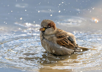 The house sparrow (Passer domesticus) is a bird of the sparrow family Passeridae, found in most...