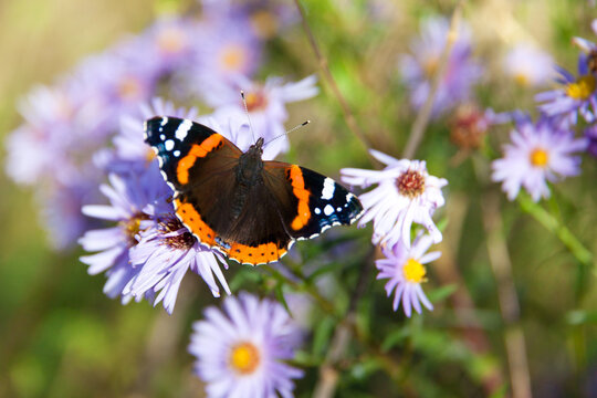 Butterfly on a flower. Butterfly with colored wings. Red admiral butterfly.