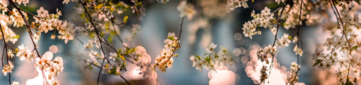 flowering spring cherry tree close-up and light bokeh
