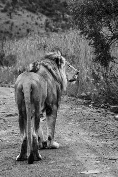 Male lion walking down dirt road facing away from viewer in black and white