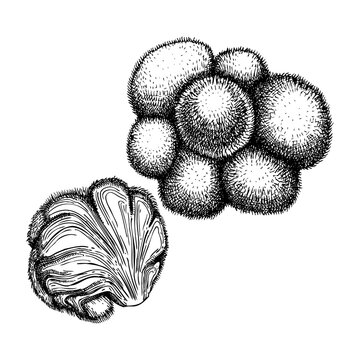Lion's Mane. Adaptogenic mushroom hand-sketched illustration. Medicinal plant drawing isolated on white background.