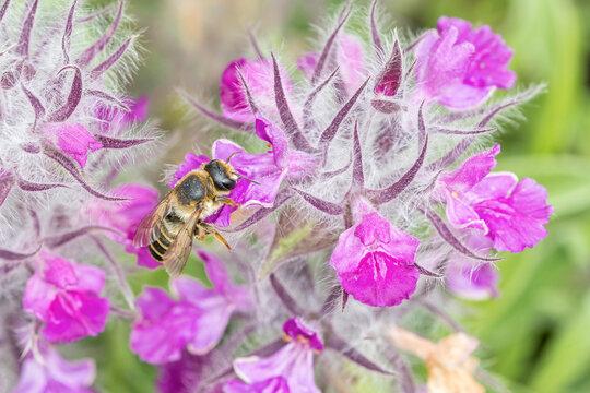 Bee With Stachys Lavandulifolia - Pink Cotton Lamb S Ear, Wood Betony