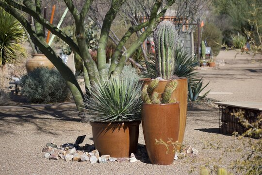 Potted cacti and succulents with palo verde tree in Arizona park.