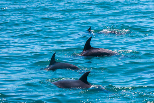 Pod of Dolphins in Bay of Islands, New Zealand