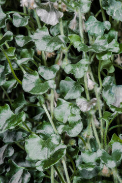 Silver Fall Leaves (Dichondra repens)