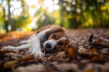 Wall Murals Dog Kooikerhondjede in der Natur. Jagdhund beim spaziergang im park im Herbst