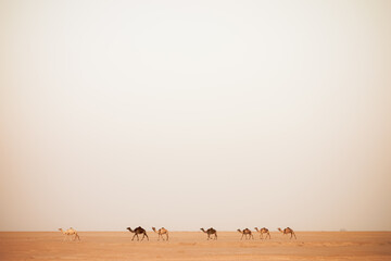 Line of camels walking across barren desert