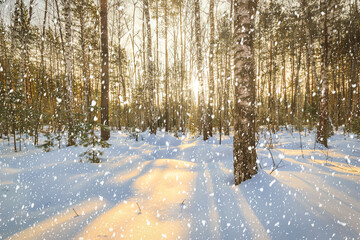 Sun rays streaming through tree trunks and snowflakes in a snow-covered birch grove on sunrise in winter. Snowfall on a sunny day.