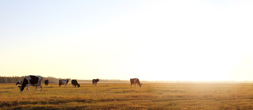 herd of cows in a large meadow at dawn. free grazing in nature