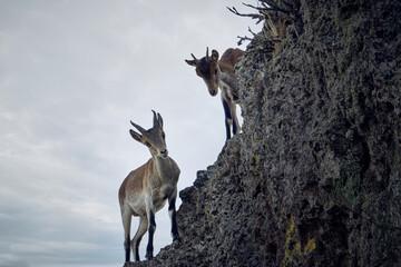 cabra muflon antilope animal salvaje fauna libertad