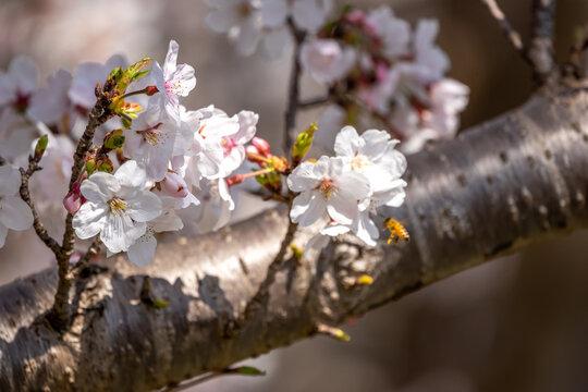 桜の花 春のイメージ