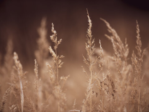 Close-up Ear of dry grass in the autumn meadow. The background is blurry.