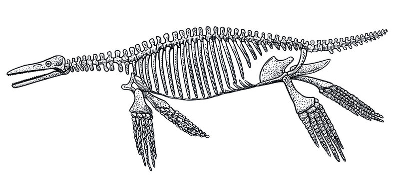 Ichthyosaurus skeleton, illustration, drawing, engraving, ink, line art, vector