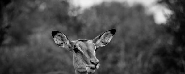 Eine neugierige, aufmerksame Antilope im Kruger Nationalpark, USA