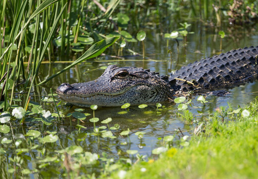 North American Alligator in a Florida Marsh