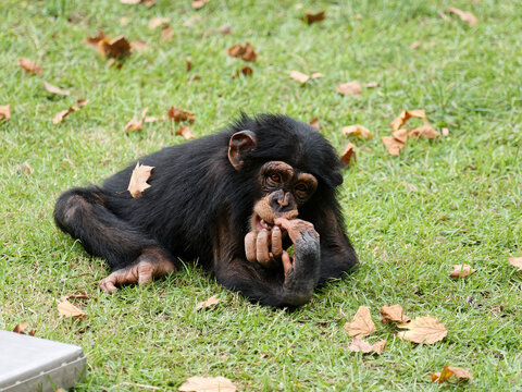 Baby chimpanzee sitting on green grass field and playing by itself.