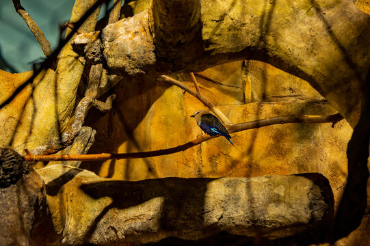 Blue-bellied roller resting on tree in Lincoln Park Zoo