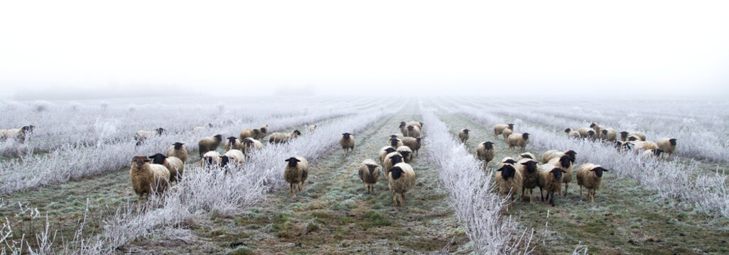 weed control with sheeps. Grazing Animals, Sheep Herd in a plantation of aronia shrubs, chokeberry - fruits. freezing rain storm with fog in Winter frosty landscape covered by white flake ice.