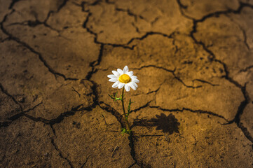 single daisy flower in cracked earth in the desert