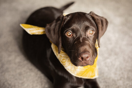 Süßer brauner Labrador mit gelbem Halstuch