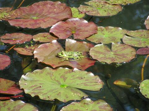 Rana esculenta in a garden pond