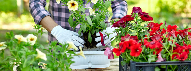 banner Woman hand planting flowers petunia, Gardener with flower pots tools.