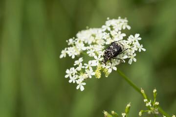 Czarno-biały chrząszcz na białym kwiatku na łące