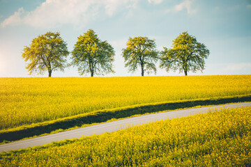 Wall Mural - Row of trees along a field in spring in sunny day.
