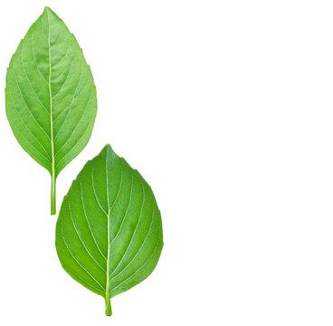 basil leaf isolated on white background
