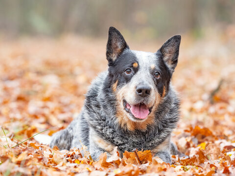 White gray black dog laying in autumn park. Smiling dog looking