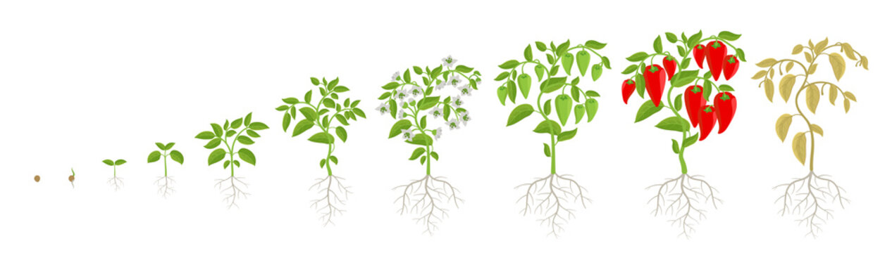 Growth stages of bell pepper plant. Capsicum annuum. Ripening period steps. Harvest animation progression. Fertilization phase. Vector infographic set.