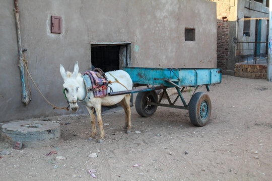 Donkey waiting in front of his master's house to pull a big cart, El-Dakhr in Egypt