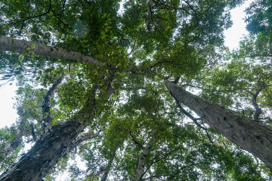 Tall rimu trees tower from below overhead converging into forest canopy.