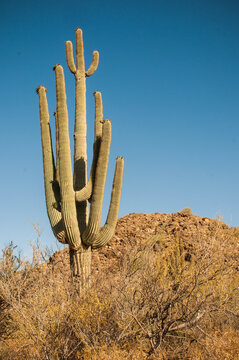 Saguaro Cacti in White Tank Mountain Park