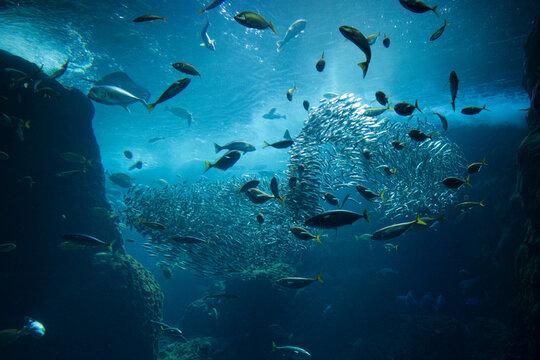 イワシの大群がつくる大魚