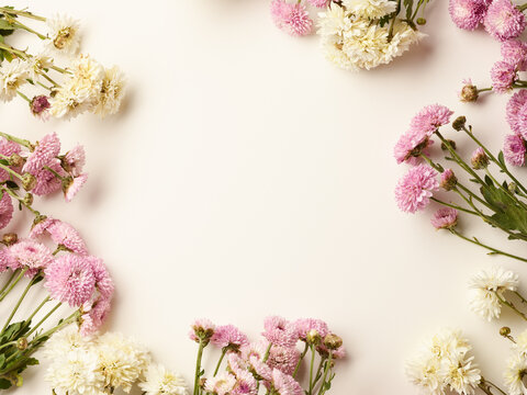 Beautiful small pink and white chrysanthemum flowers with place for text