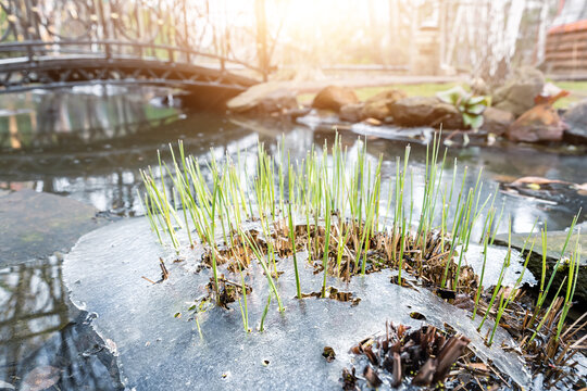Sprouts of fresh new first green cane reed growing breakthrough frozen water ice crust on pond or river against shining sun at warm spring day. Nature awakening scene concept. Thaw melt snow weather