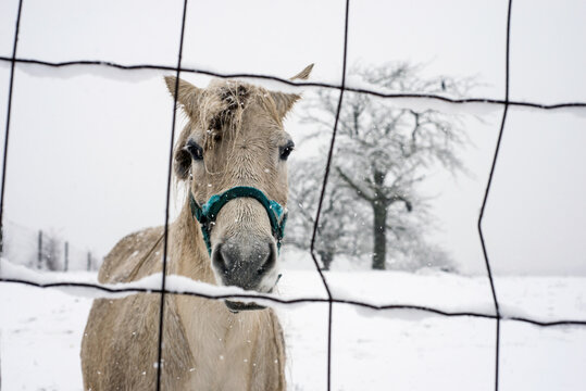 Portrait of a white horse standing in a snowy meadow during a snowstorm